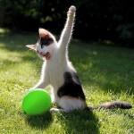 un chaton joue avec un ballon de baudruche