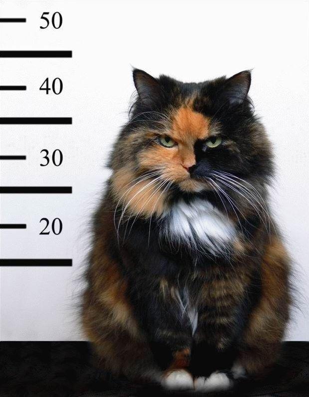Un chat délinquant arrêté par la police !