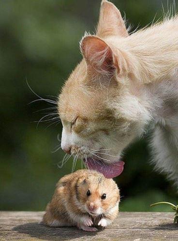 Chat qui lèche un hamster