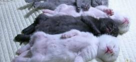 Des chatons qui dorment ensemble : trop mignon !