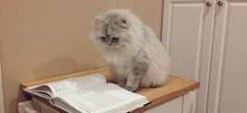 Le chat Persan qui sait lire