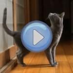 Vidéo : Le chat qui veut qu'on lui ouvre la porte