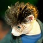 Chat déguisé et brushing