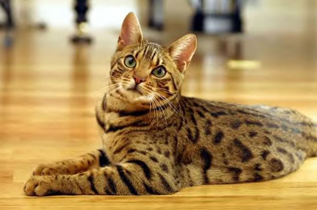 Un chat Bengal qui n'a pas l'air très commode !