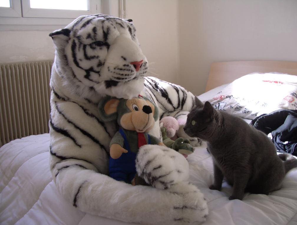 Un Chartreux apeuré face à un Tigre en peluche