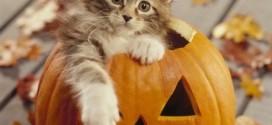 Un chaton Maine Coon dans une citrouille d'Halloween