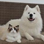 Un chat Ragdoll et un chien Samoyede meilleurs amis !