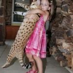 Un chat Savannah porté à bout de bras par une fillette