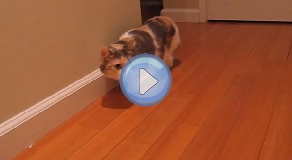 Vidéo de deux chats Munchkin pas très courageux