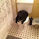 Le gros chat qui bloque les toilettes