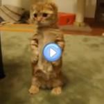 """Vidéo d'un chat """"les pattes en l'air"""" pour attraper un jouet à sonnette"""