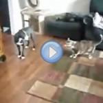 Vidéo d'un chat qui protège une petite fille contre un chien