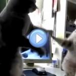 Vidéo de deux chats et leur jeu de pattes sur comptine anglaise