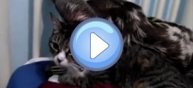 Vidéo d'un chat et d'un paresseux