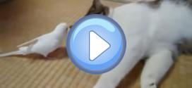 Vidéo d'une perruche qui taquine un chat