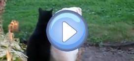 Vidéo d'un chat qui masse un chien