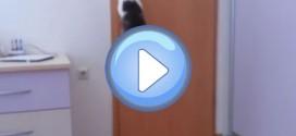 Vidéo d'un chat qui ouvre les portes pour aller où il veut