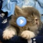 Vidéo d'un chaton persan qui s'endort et se laisse presque tomber en arrière