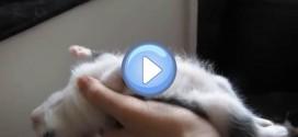 Vidéo d'un chaton qui s'endort dans la main de son maître !