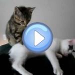 Vidéo d'un chat qui fait un massage à son copain chaton ! Incroyable !