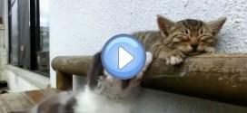 Vidéo d'un chaton qui essaye de réveiller son copain : trop mignon !