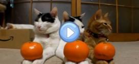 Vidéo des 3 chats et 6 mandarines : de vrais anges !