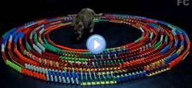Vidéo du chat au centre d'un cercle de dominos : il adore ce jeu !