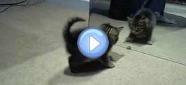 Vidéo du chaton qui devient fou lorsqu'il voit son reflet dans le miroir ! Trop drôle