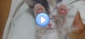 Vidéo du chaton qui dort les pattes en l'air : trop chou