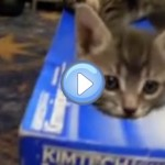 Vidéo de chatons qui jouent dans une boite - Trop mignon !