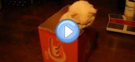 Vidéo d'un Scottish Fold blanc qui essaie d'attraper un jouet à travers une boite
