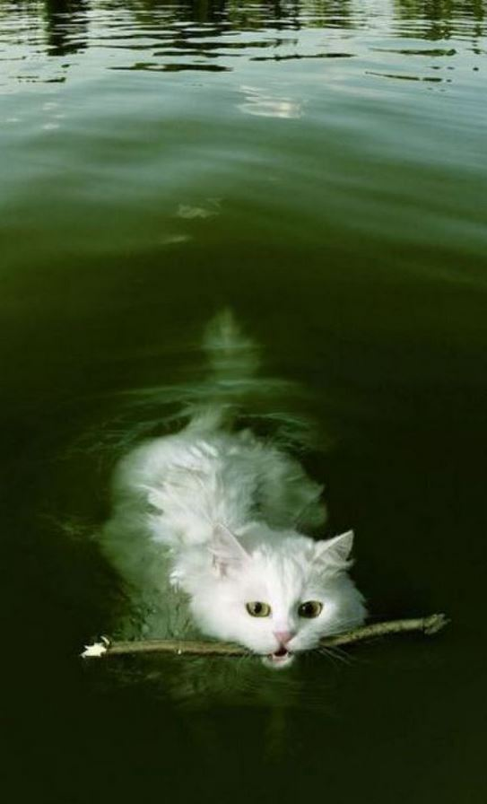 Le chat qui aurait voulu être un chien : il nage et ramène un bout de bois !