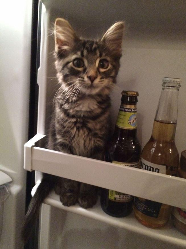 Le chat qui se prend pour une bouteille de bière : trop drôle