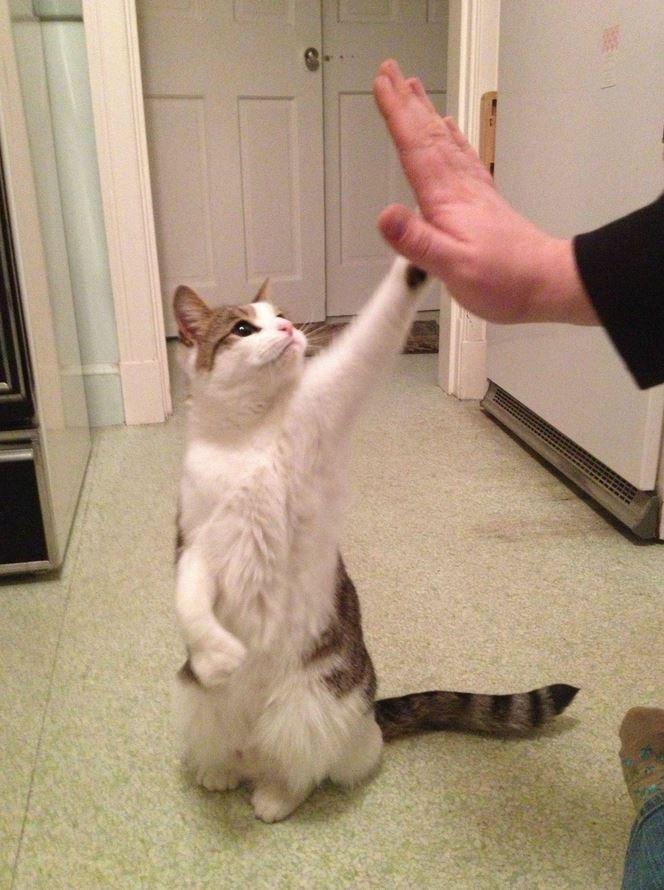 Le chat qui fait un high-five !