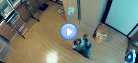 Vidéo du chat recordman du saut en hauteur : c'est fou !