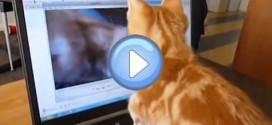 Vidéo d'un chaton roux qui se voit dans une vidéo de lui-même: trop chou !
