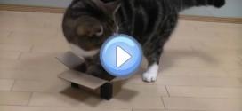 Vidéo de Maru qui essaie de rentrer dans des boites trop petites pour lui