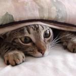 Le chat caché sous la couverture, au chaud, qui fait de gros yeux !