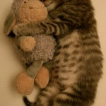 Le chaton qui dort avec sa peluche : trop chou