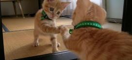 Le chaton qui se regarde dans un miroir