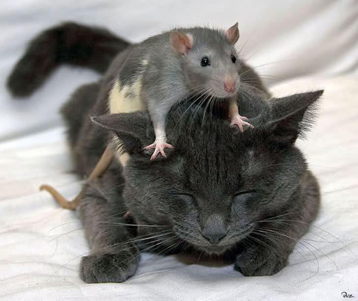 Un rat qui chevauche un chat ! C'est  fou
