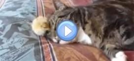 Vidéo d'un chat qui s'endort sur un petit poussin : trop chou !