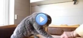 Vidéo d'un Scottish Fold qui mange de la glace et du fromage avec ses pattes