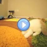Vidéo de Bun Bun, un chaton Exotic Shorthair qui fait de petits bonds : trop chou