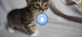 Vidéo du chaton qui pleurniche car sa maman n'est pas là : trop chou !