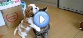 Vidéo du chiot qui embête le chat de la maison