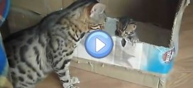 Vidéo d'une maman Bengal qui parle avec son chaton