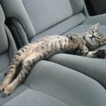 Le chat couché à l'arrière d'une voiture : il est à l'aise !