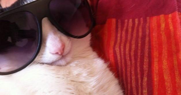 Le chat en mode cool avec ses lunettes de soleil