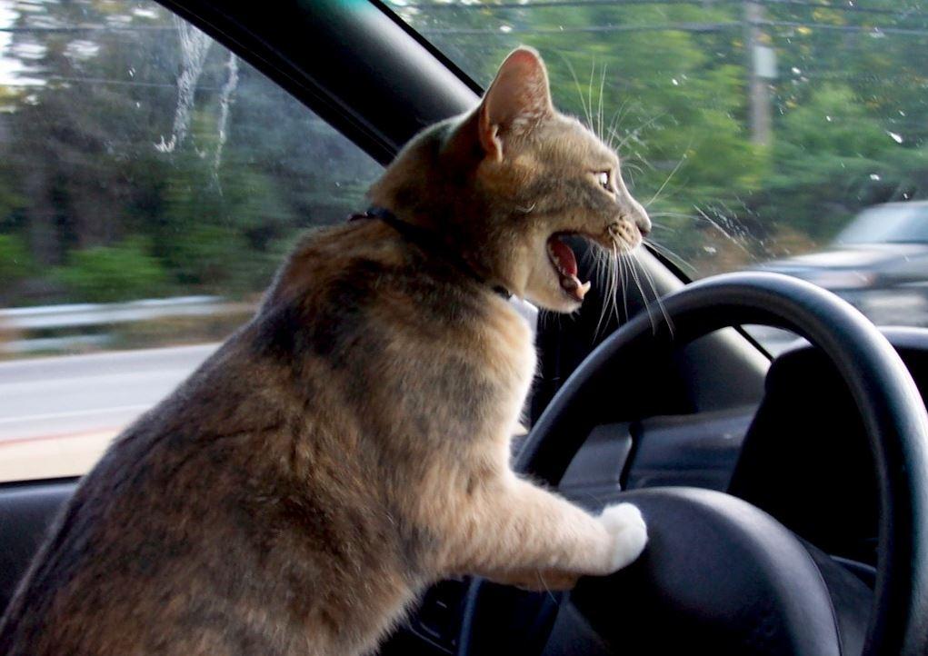 chat-fou-volant